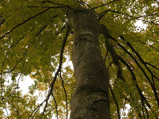 Mächtiger Baum mit Namen Siegfried