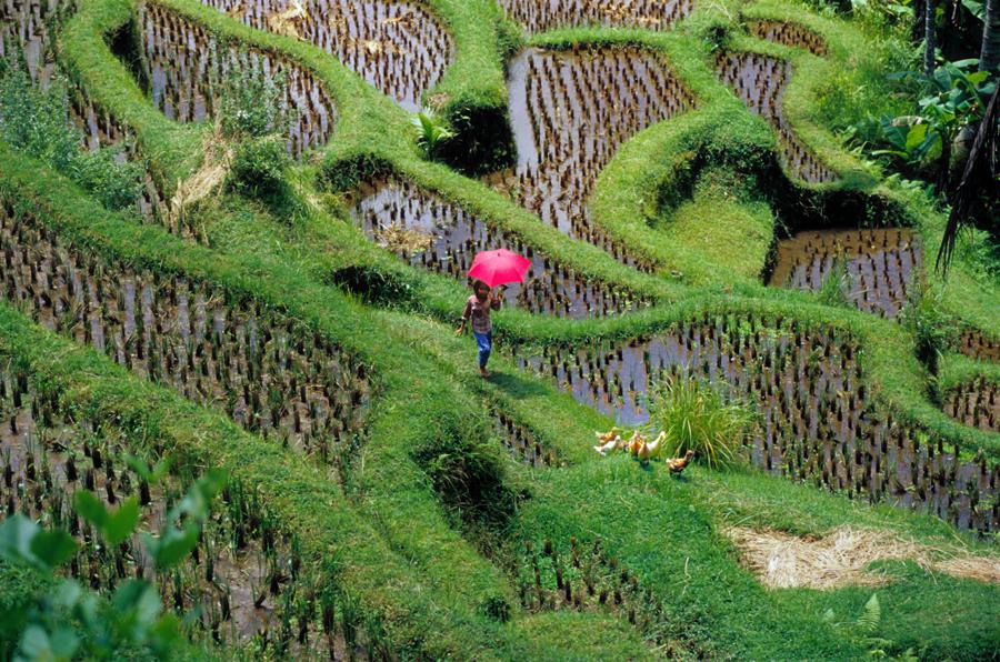 Mädchen unterwegs im Reisfeld