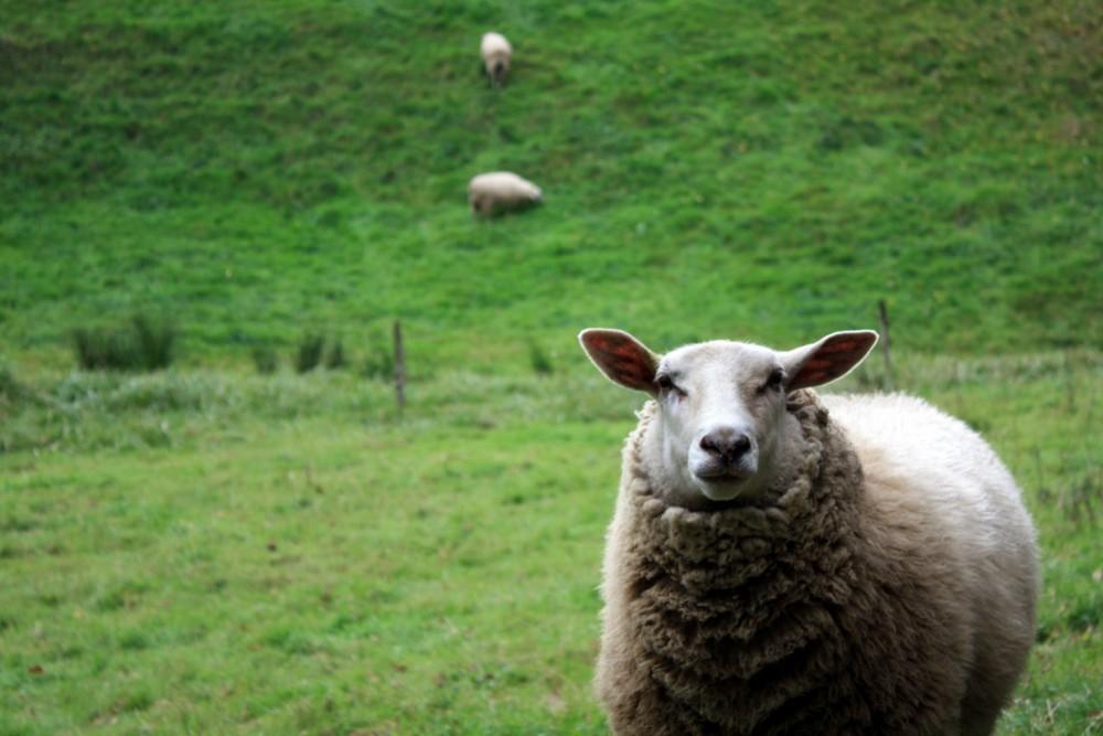 Mäh, ein Schaf