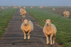 """""""Mäh"""" ihr Schafe ..."""