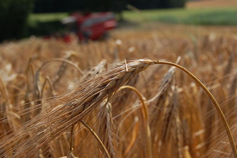 Mähdrescher hinter dem reifen Korn