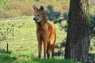 Mähnenwolf (1) Neuwieder Zoo)
