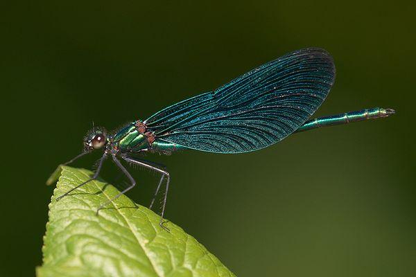 Männchen der Blauflügelprachtlibelle