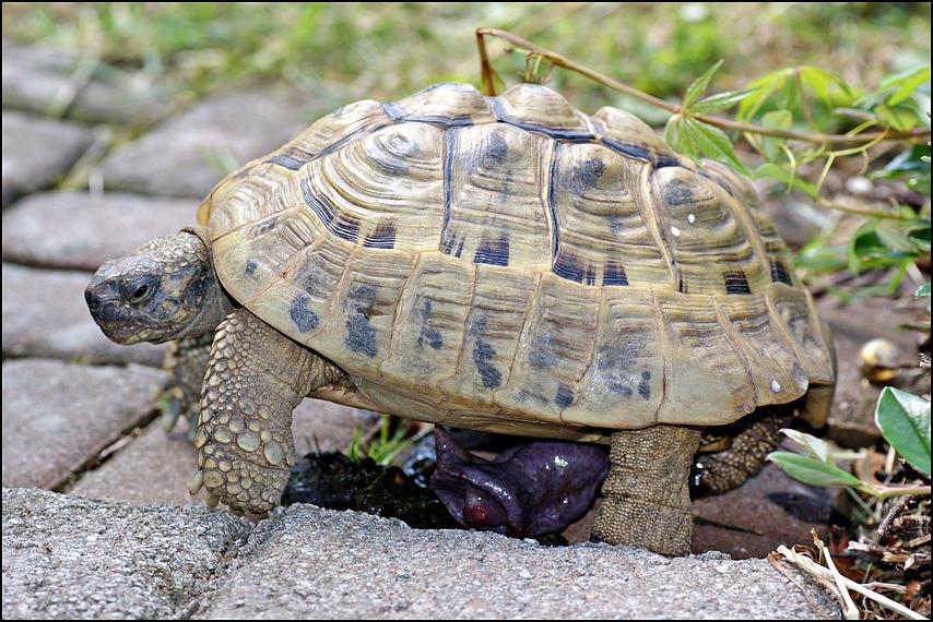 Männchen der Griechischen Landschildkröte