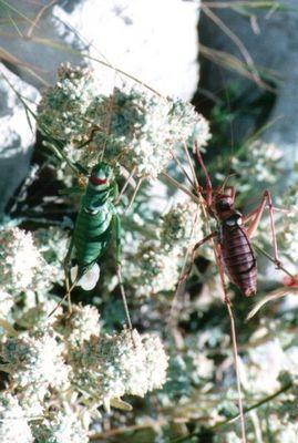 Männchen und Weibchen bei der Eiablage