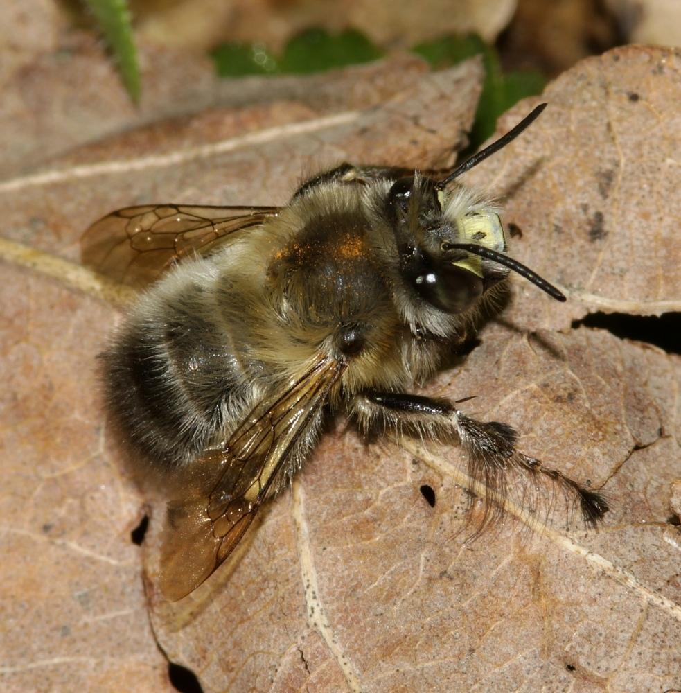 Männliche Frühlings-Pelzbiene (Anthophora plumipes)