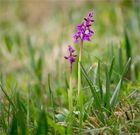 Männliche Knabenkraut (Orchis mascula)