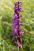 Männliche Knabenkraut (Orchis mascula) .