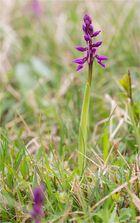Männliche Knabenkraut (Orchis mascula)...