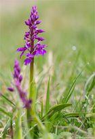 Männliche Knabenkraut (Orchis mascula).....