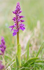Männliche Knabenkraut (Orchis mascula)......