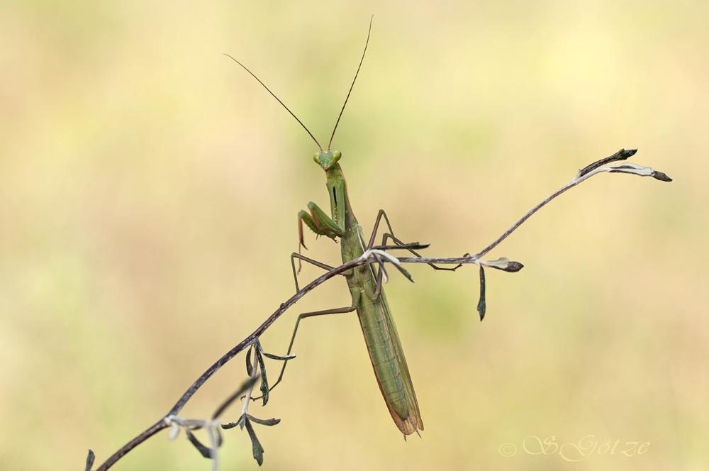 Männliche Mantis