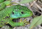 Männliche Smaragdeidechse 2