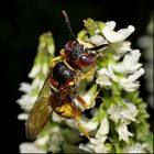 Männlicher Bienenwolf