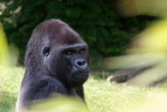 """Männlicher Gorilla """"Ivo"""" im Zoologischen Garten Berlin"""