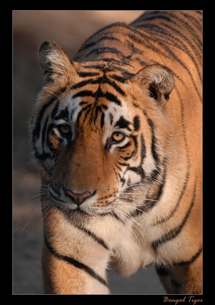 Männlicher Tiger in der Morgensonne