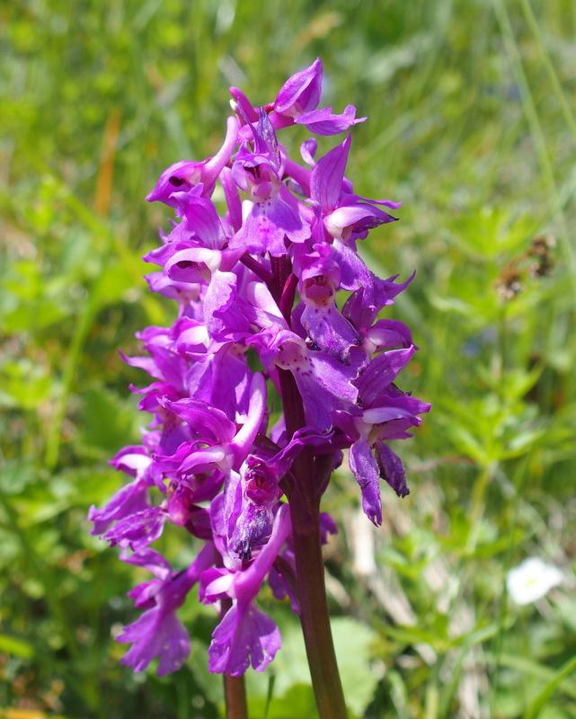 Männliches Knabenkraut 'Orchis mascula'