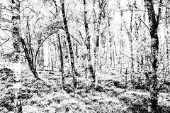 Märchen Kapartenbirkenwald