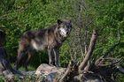 Märchen Wolf !!!