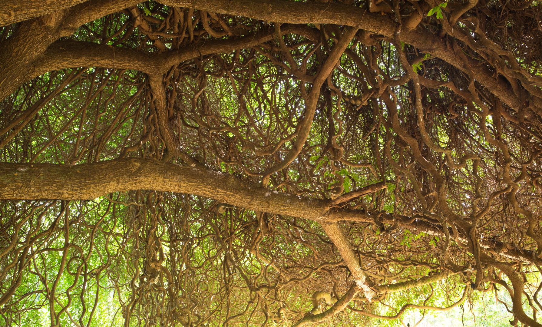 """Märchenbaum"" im National Tropical Botanical Garden auf Kauai"