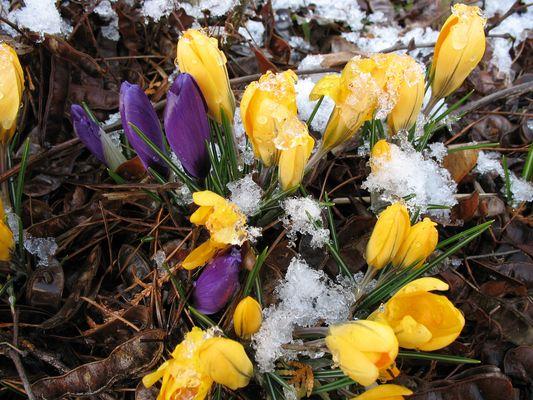 März 2010 die Krokose trotz Schnee