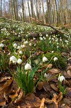 Märzenbecher im Frühlingswald