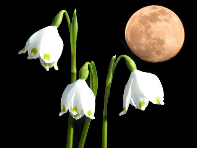 Märzenbecher im Mond