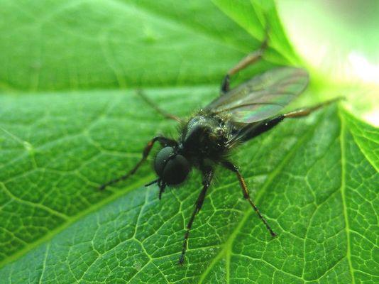 Märzmücke