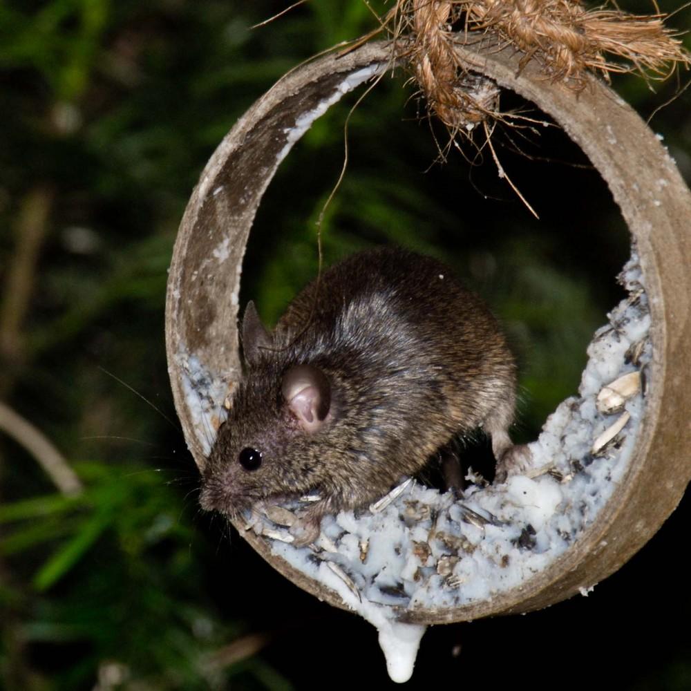 Mäuschen am Meisenring