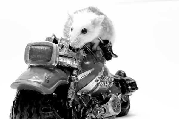 Mäuschen auf Motorrad