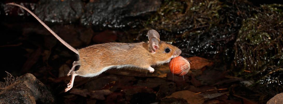 Mäusesprungpano
