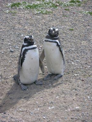 Magellan Pinguine
