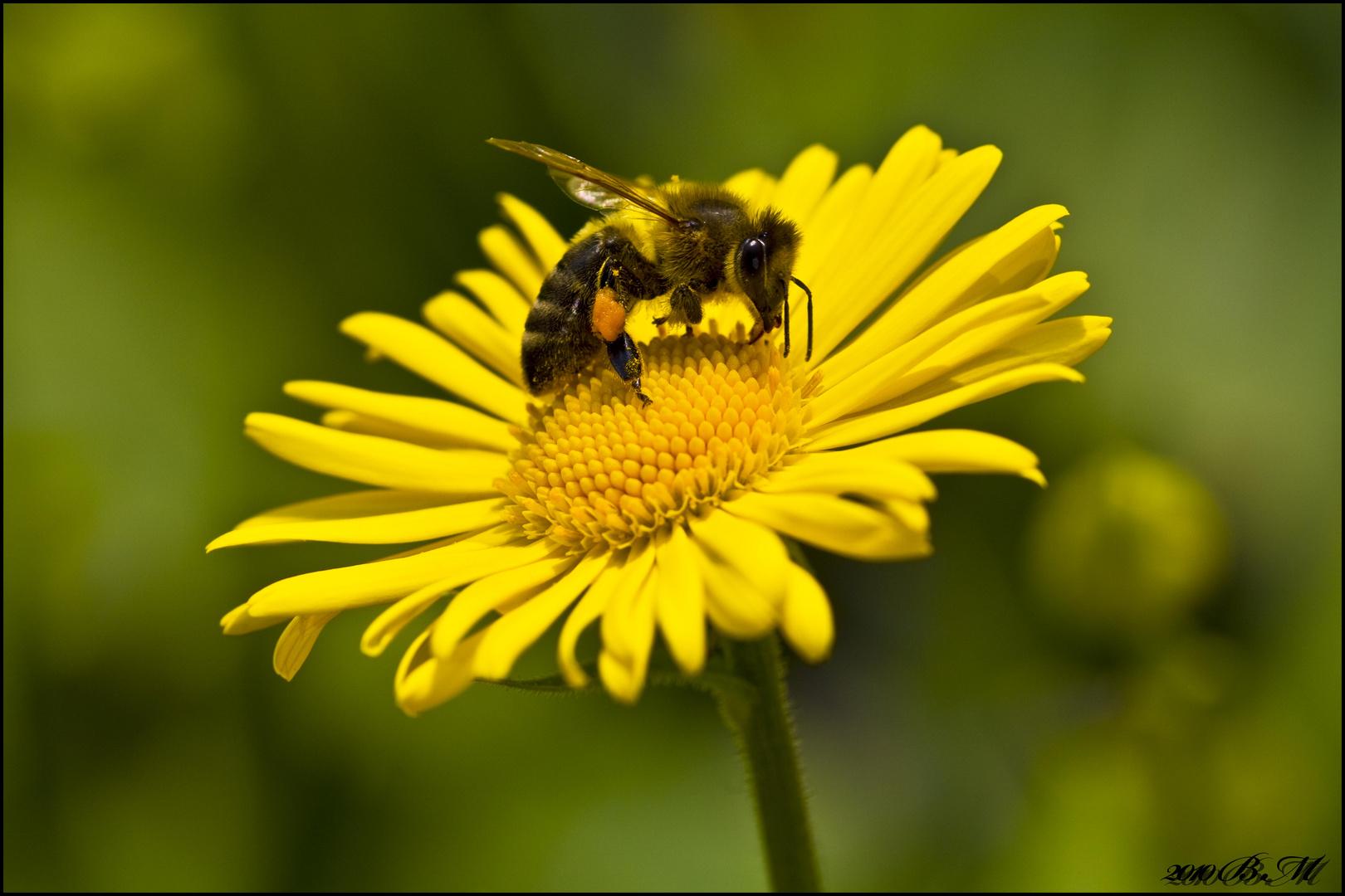 Magerite mit Biene