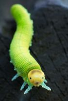 Magic green larva