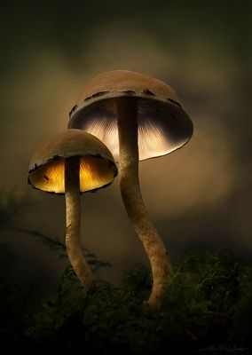. : magic mushrooms : .