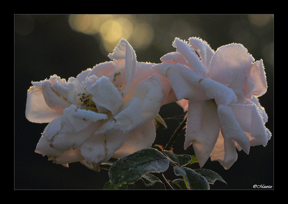 magie de la rose