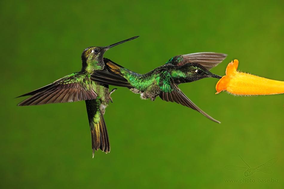 Magnificent Hummingbird (Eugenes fulgens, Swainson, 1827)