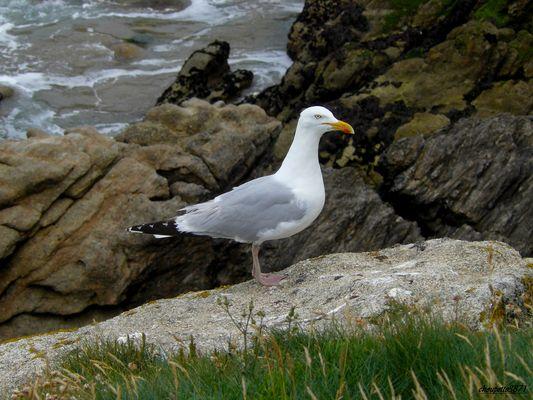 Magnifique Goéland sur les côtes bretonnes