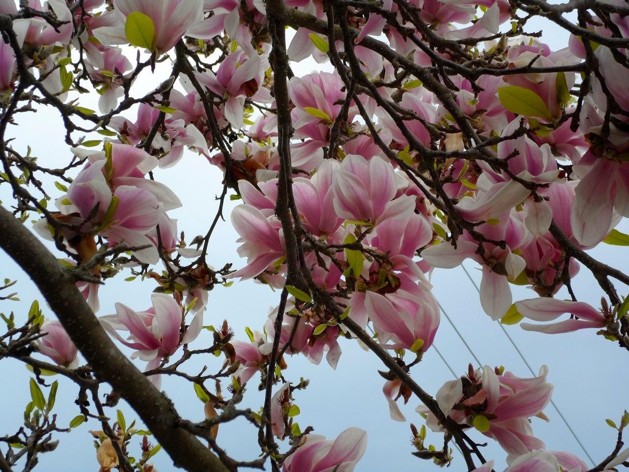 Magnolia!
