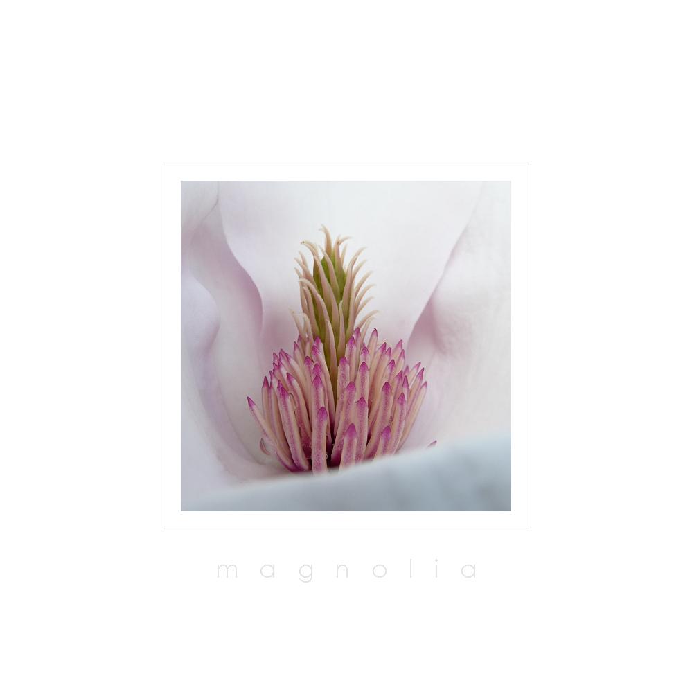 . magnolia .