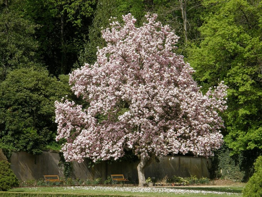 Magnolia alsacien