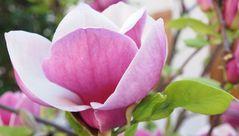 magnolia caduque