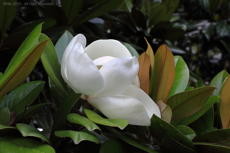 ...Magnolia...