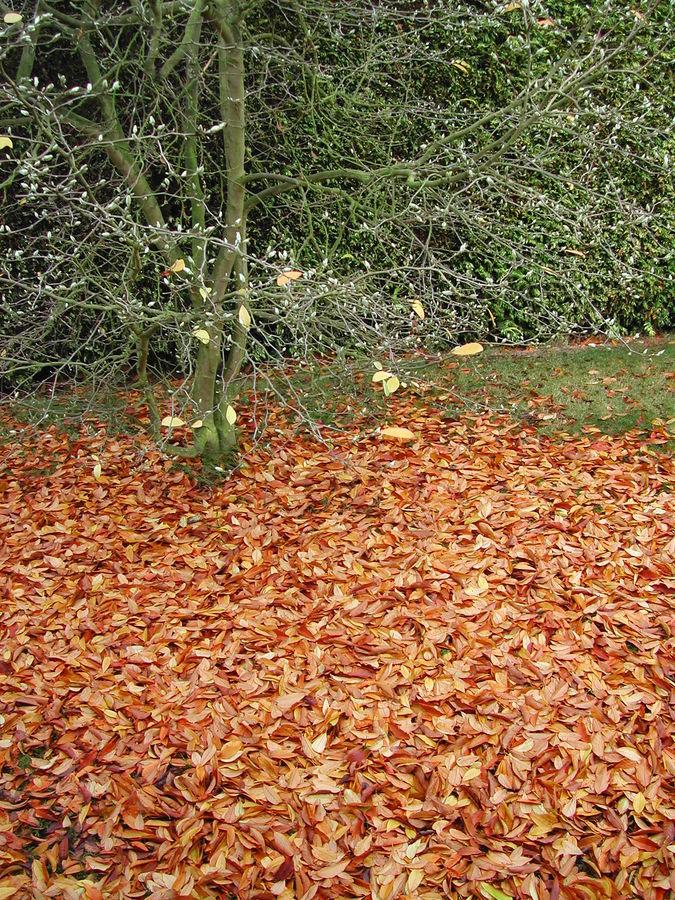 magnolia en automne