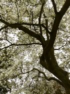 Magnolia en fleurs... Parc des Moutiers