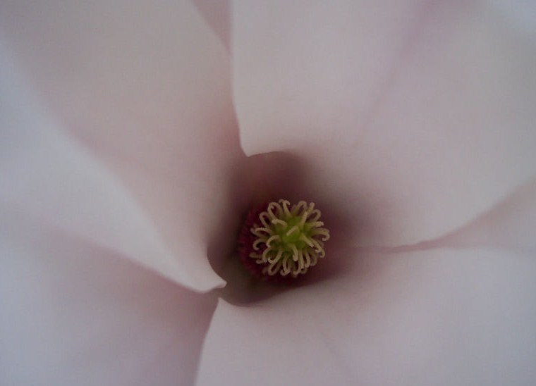Magnolia for ever