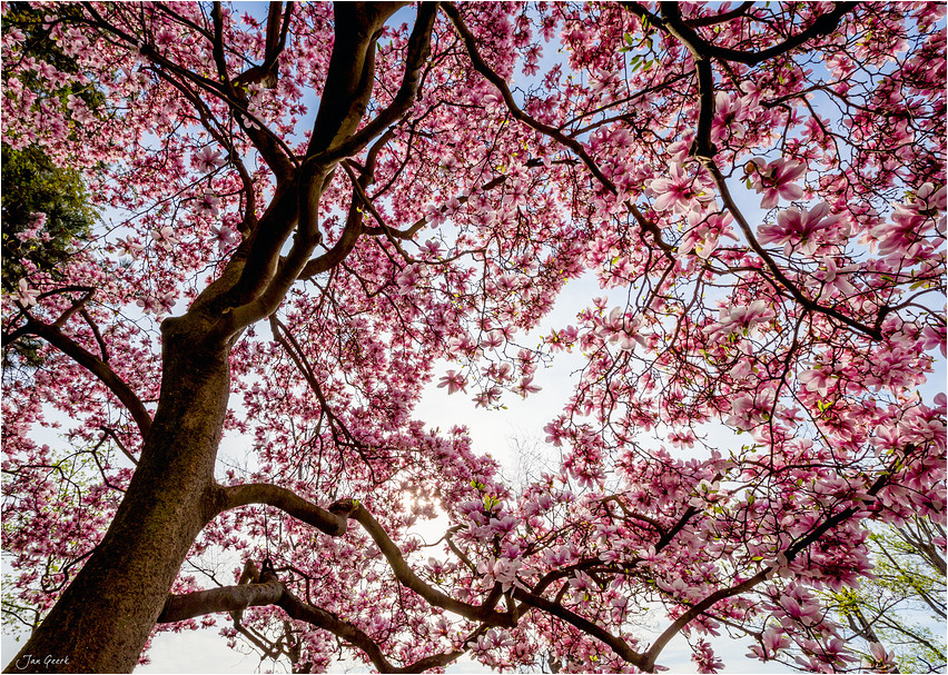 magnolia ii foto bild jahreszeiten fr hling natur. Black Bedroom Furniture Sets. Home Design Ideas
