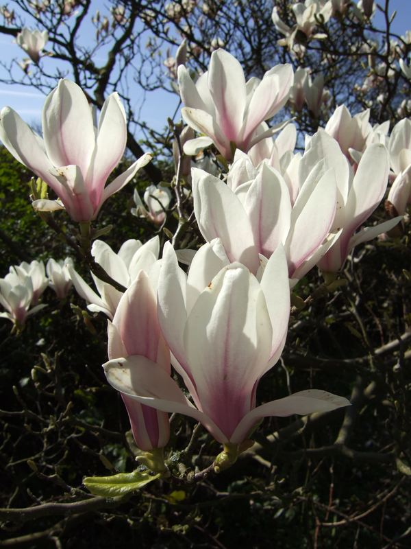 Magnolia in the April sun