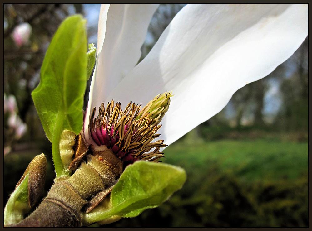 Magnolia overblown