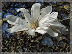 +++magnolia stellata+++